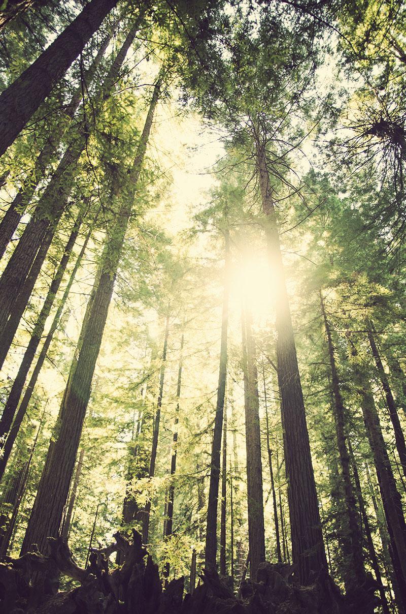 roadtrip_amerika_potovanja_redwoods